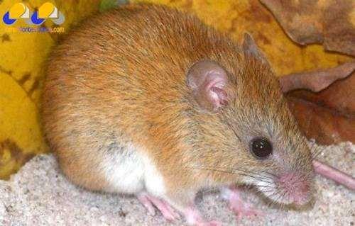 Cerradomys goytaca, фото новости о животных грызуны фотография