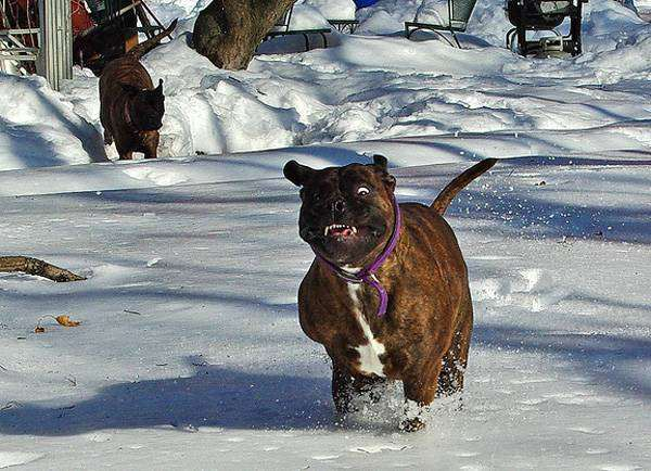 Бульмастиф, фото новости о животных собаки фотография