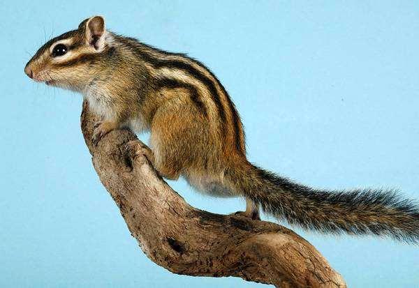 Бурундук, фото новости о животных фотография грызуны