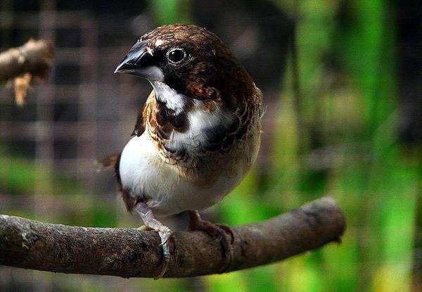 Японская амадина (Lonchura domestica), фото новости о животных птицы фотография