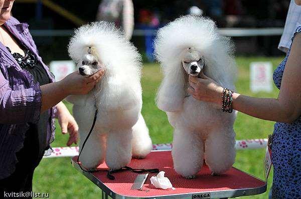 Пудели, фото породы собак фотография