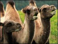 Забавные факты про верблюдов