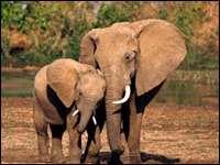 Интересные факты о жизни слонов