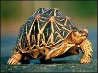 Занимательные факты о сухопутных черепахах