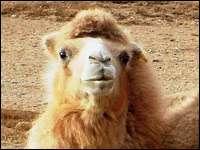 Неизвестные факты из жизни двугорбых верблюдов