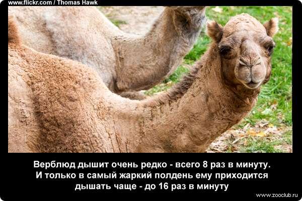 Анекдот Про Верблюда