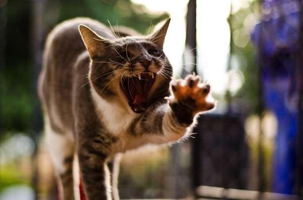 Кошка с выпущенными когтями, фото поведение кошки фотография