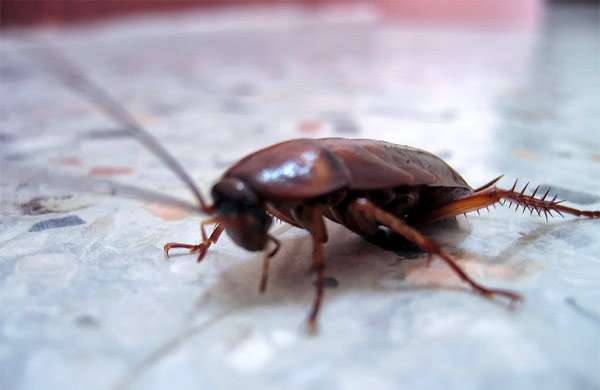 Таракан, фото насекомые фотография картинка
