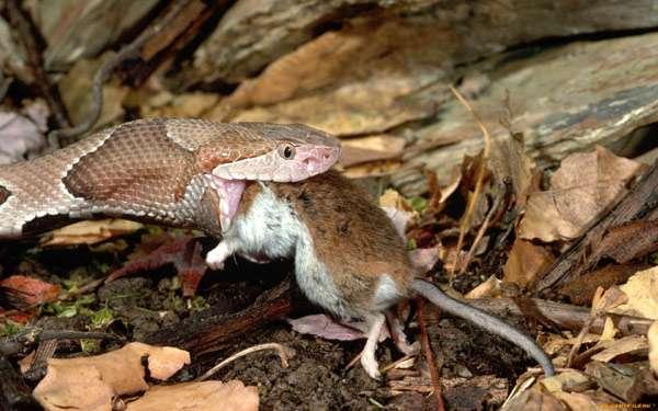 Змея, проглатывающая мышь, фото рептилии фотография картинка
