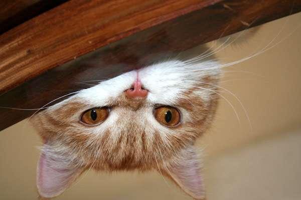 Подглядывающая кошка, фото фотография картинка