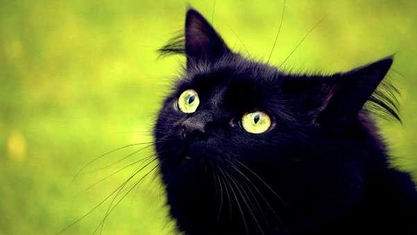 Черная кошка (голова), фото фотография картинка