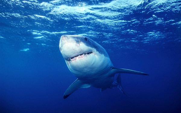 Большая белая акула, фото рыбы фотография картинка