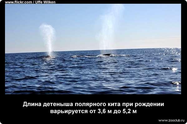 Необычные факты о полярных китах фото любопытные факты про  Интересные факты о полярных китах