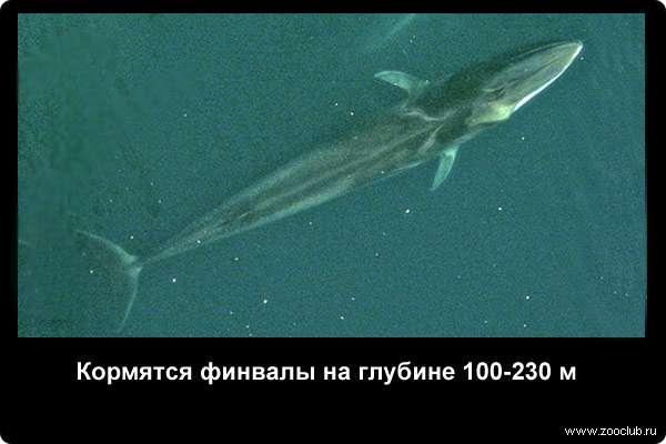 Кормятся финвалы на глубине 100-230 м