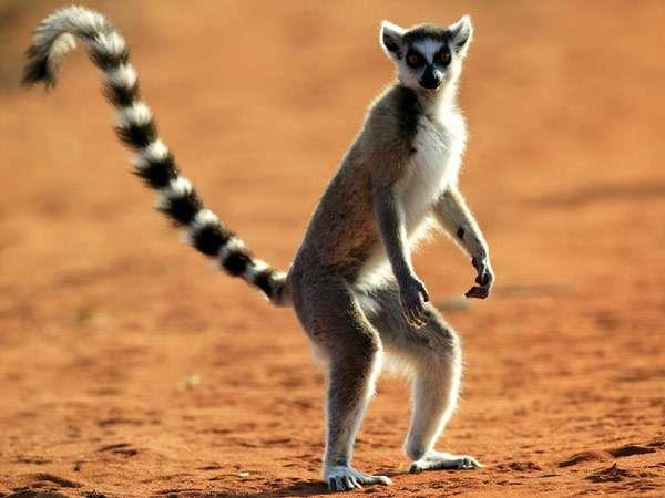 Кошачий кольцехвостый лемур, или катта (Lemur catta), фото приматы фотография картинка