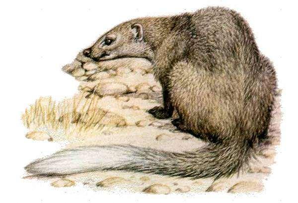 Мангуст Селоуса, серый мангуст (Paracynictis selousi) серый миркат, рисунок хищные животные картинка