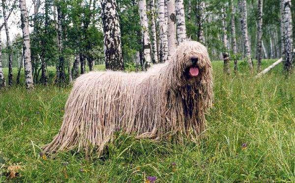Комондор, или венгерская овчарка, фото собаки породы собак фотография