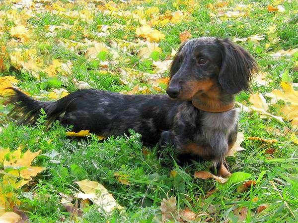 Такса, фото породы собак фотография