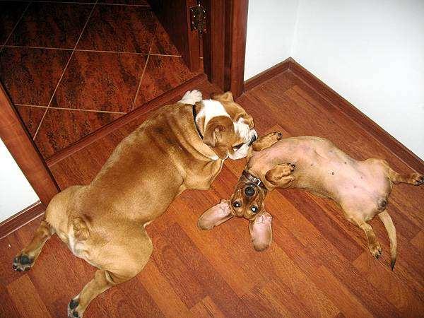 Такса и английский бульдог, фото собаки фотография