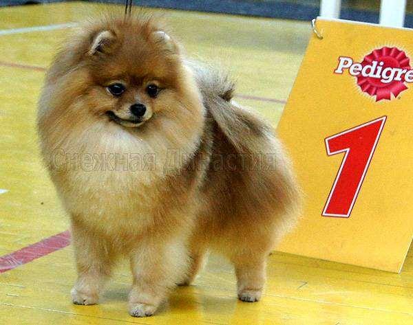 Померанский шпиц, фото картинка породы собак изображение