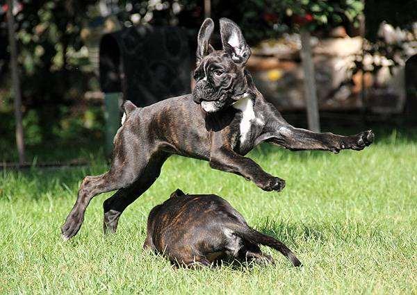 Играющие боксеры, фото породы собак фотография