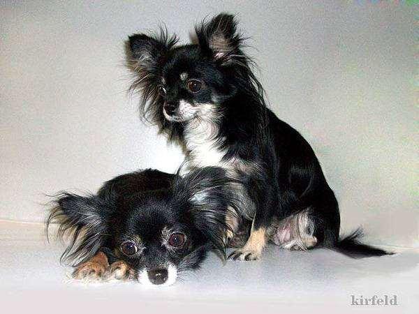 Длинношерстные чихуахуа, фото породы собак фотография