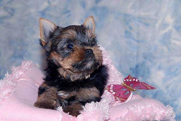 Йоркширский терьер щенок, фото породы собак изображение