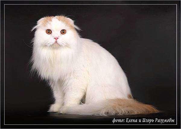 Хайленд фолд, фото кошки уход фотография