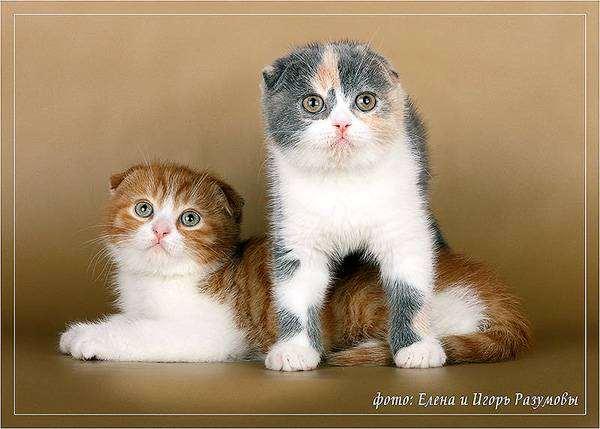 Шотландские вислоухие котята, фото кошки уход фотография