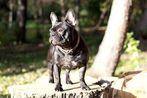 Французский бульдог, фото собака и человек фотография