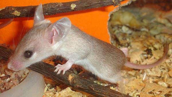 Иглистая мышь, акомис (Acomys cahirinus) фото грызуны фотография