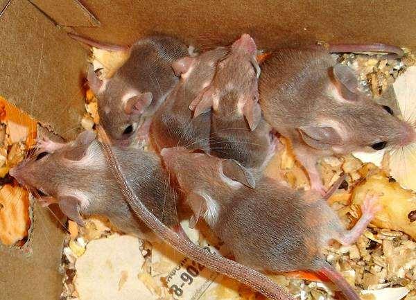 Иглистая мышь, или акомис (Acomys cahirinus) с детенышами, фото мышевидные грызуны фотография