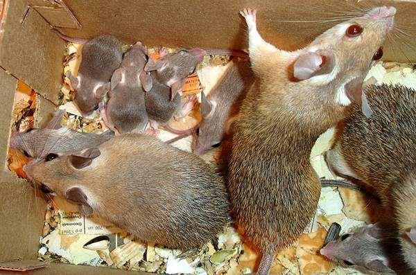 Иглистые мыши (Acomys cahirinus) с потомством, фото грызуны фотография