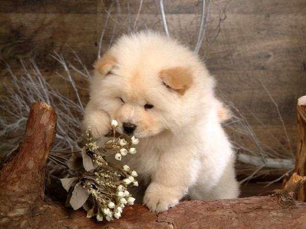 Щенок чау-чау, фото собаки фотография породы собак