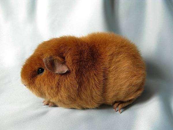 Морская свинка породы тэдди, фото содержание свинок фотография