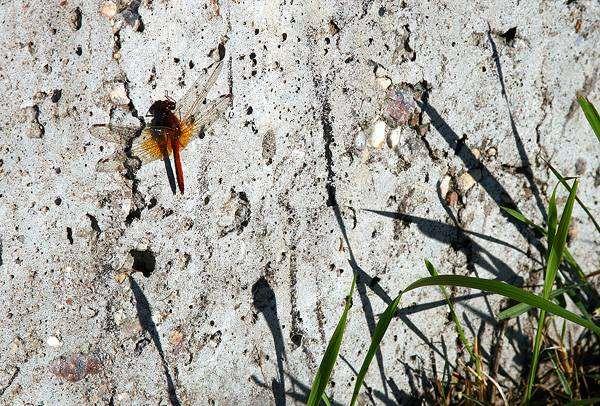 Стрекоза на стене, фото новости о животных насекомые фотография