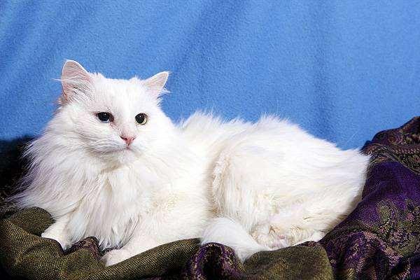Белая кошка с глазами разного окраса, фото кормление кошки фотография