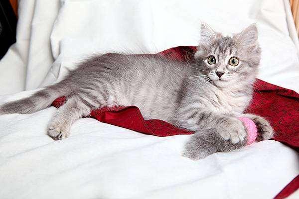 Дымчатый котенок, фото психология кошки фотография