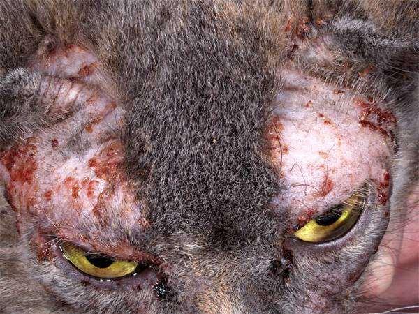 Проявления аллергии на корм у кошки, фото кормление кошек фотография