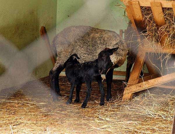Овца с ягненком, фото парнокопытные животные фотография
