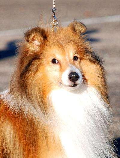 Шелти, или шетландская овчарка, фото фотографии породы собак