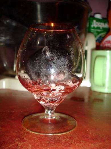 Крысенок в бокале, фото грызуны фотография