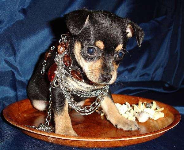 Русский той-терьер щенок, фото породы собак изображение