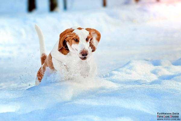 Бассет хаунд, фото породы собак фотография