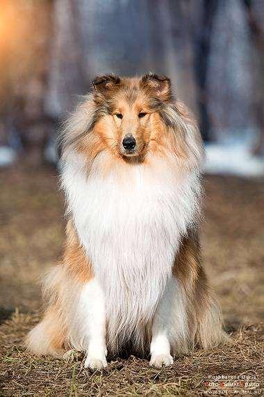 Длинношерстный колли, фото породы собак фотография