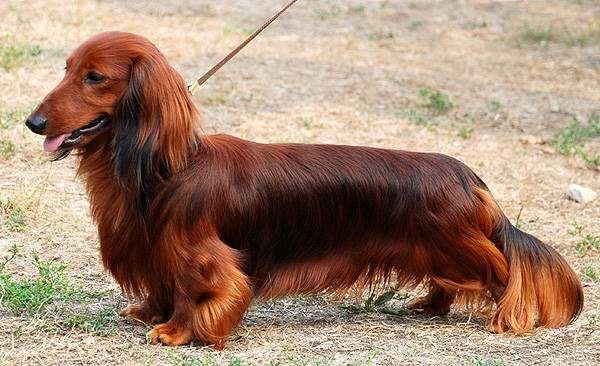 Длинношерстная такса, фото собаки породы собак фотография