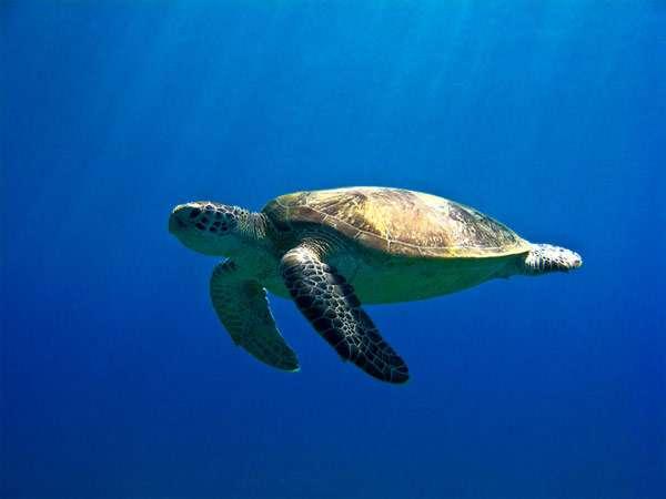 Зеленая, или суповая черепаха (Chelonia mydas), фото рептилии фотография