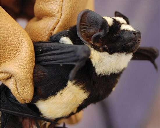 Пегий выростогуб (Niumbaha superba), фото летучие мыши фотография картинка