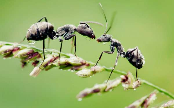 Муравьи, фото фотография картинка насекомые