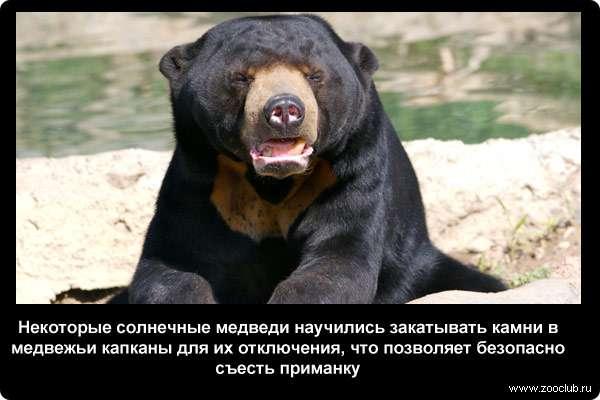 Некоторые солнечные медведи научились закатывать камни в медвежьи капканы для их отключения, что позволяет безопасно съесть приманку